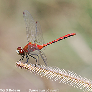Whiteface meadowhawk