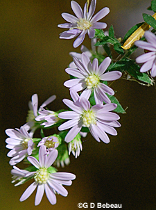 Blue Wood Aster