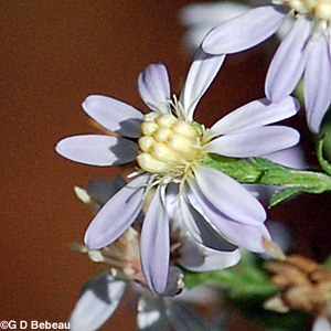 Common Blue Wood Aster flower