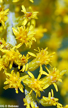 Late Goldenrod flower closeup