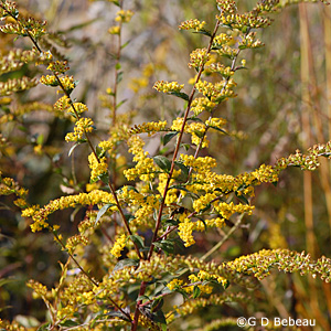 Elm-leaved Goldenrod Plant