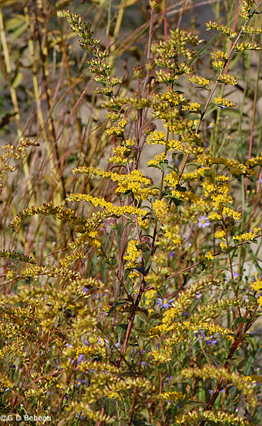 Elm-leaved Goldenrod