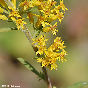 Gray Goldenrod flower