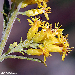 Gray Goldenrod flower closeup