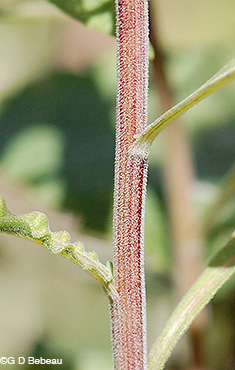 Gray Goldenrod stem