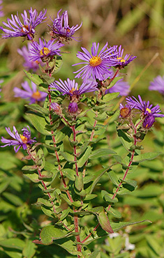 New England Aster floral array