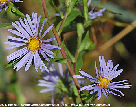 Purplestem Aster group