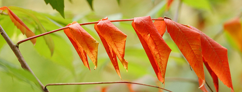 Red Sumac Leaves