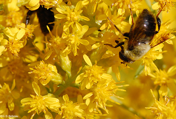 Showy Goldenrod flower detail