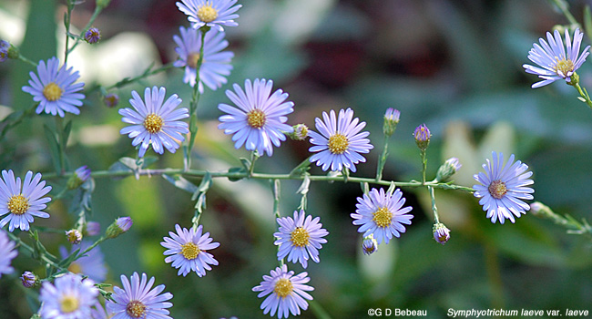 Smooth Blue aster floral array