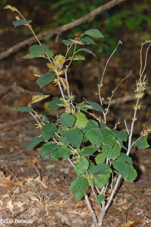 Witch hazel plant