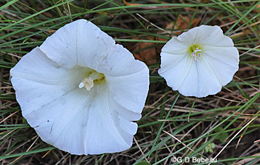 Bindweed flower comparison