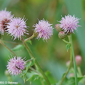 Canada Thistle flower heads