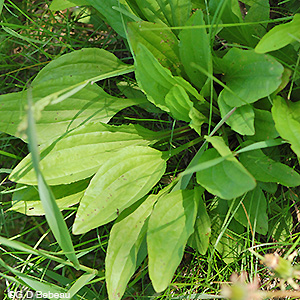 Common Plantain leaf rosette
