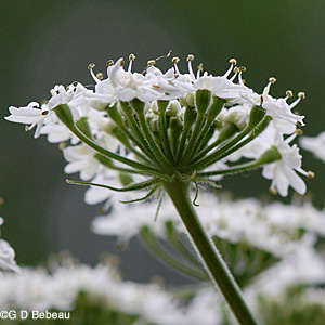 Cow Parsnip Flower Umbel