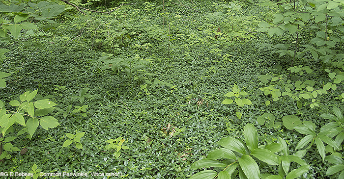 Vinca hillside ground cover