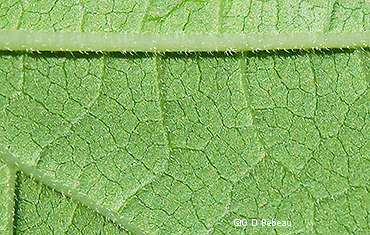 lower leaf surface
