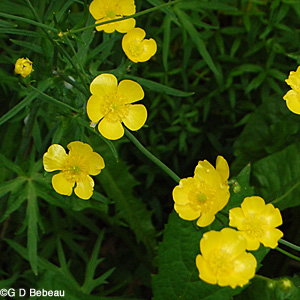 Tall buttercup group