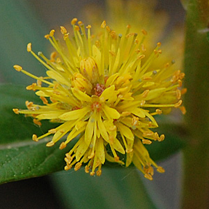 Tufted Loosestrife flower raceme
