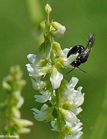 White Sweet Clover