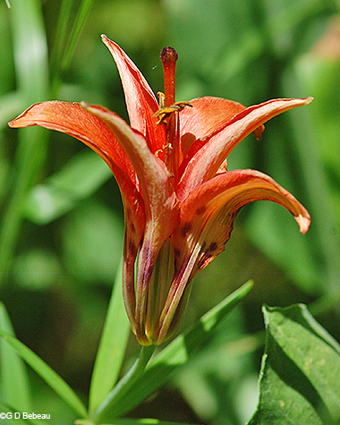 Wood lily side view