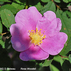 Woods' Rose flower