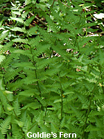 Goldie's Fern