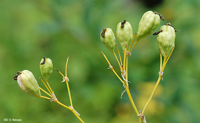 Blackberry Lily Seed Heads