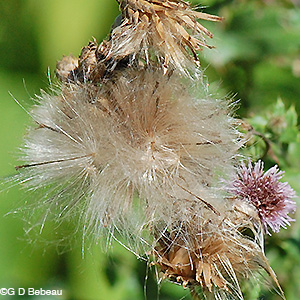 Canada Thistle seedheads