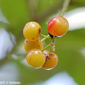 Chokecherry Early Fruit