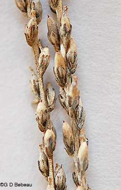 Common Plantain seed capsules