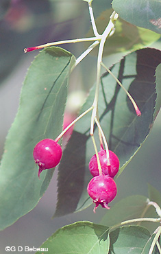 Downy Serviceberry fall fruit