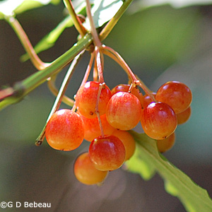 European Cranberrybush fall fruit