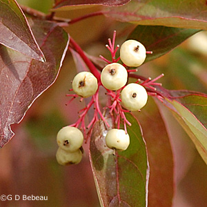 Gray dogwood fruit