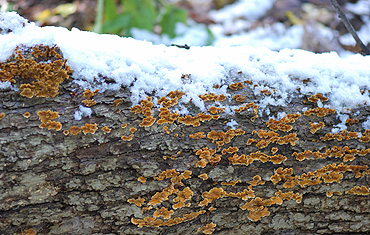 Mushroms in snow on log