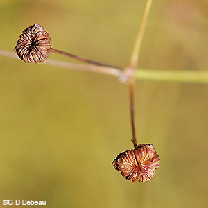 Northern Water Plantain seed head