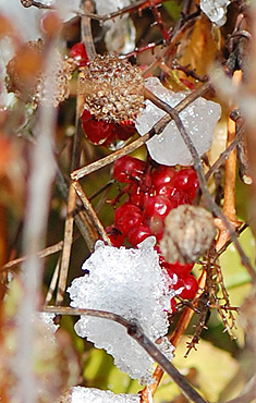 Red Fruit in Snow