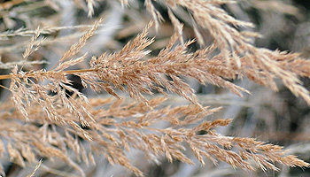 Fall Reed Grass seed heads