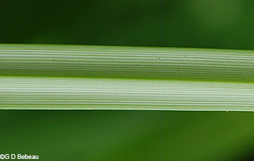 upper side of leaf blade