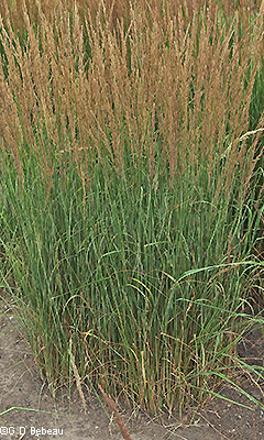 'Overdam' Feather Reed Grass