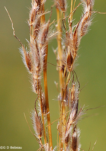 Indian Grass seed detail