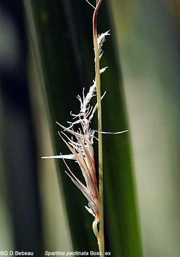 Prairie Cordgrass panicle