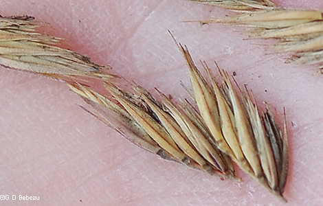 Fall spikelets