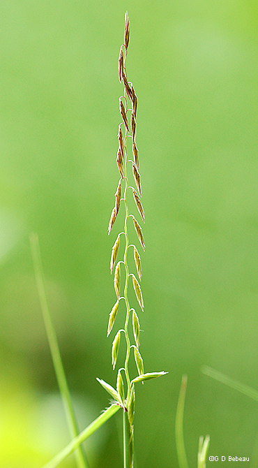 mew panicle branch