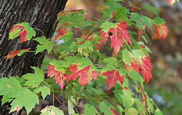 Maple Leaves Turning