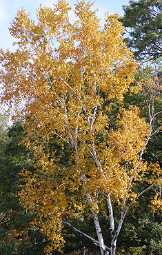 Yellow Poplar Leaves