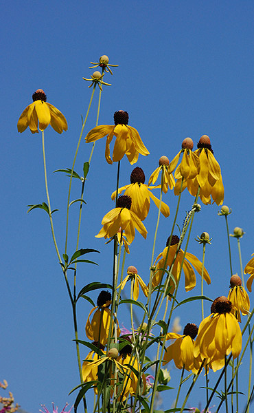 Gray-headed coneflower