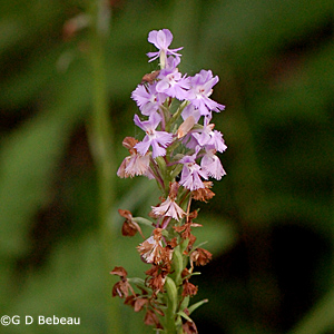 Lesser Purple Fringed Orchid inflorescence