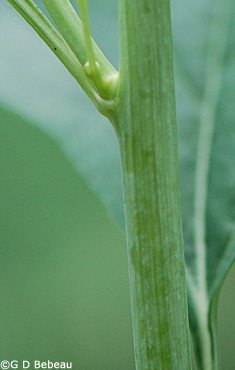Pale Indian Plantain Stem