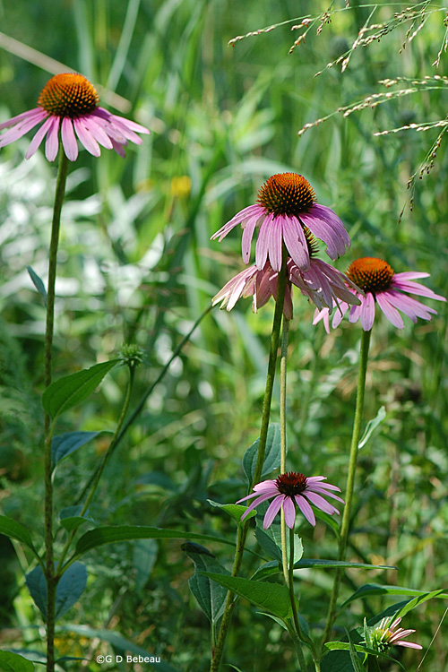 Purple Coneflower group